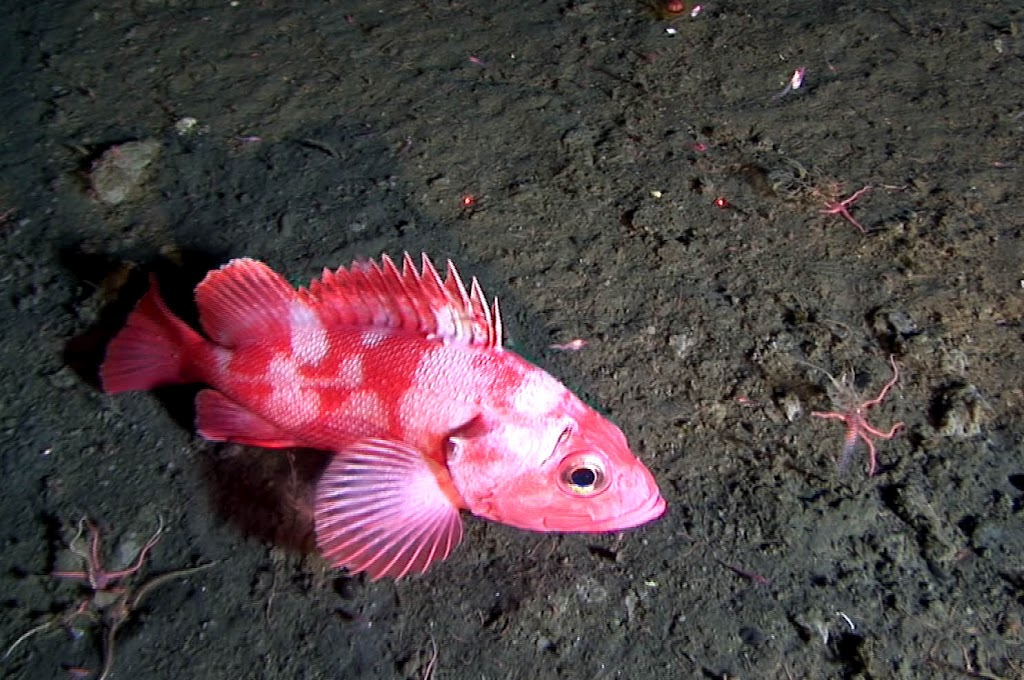 Dive 24 - B01C0505 - 00023420 - Shortraker rockfish