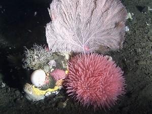 Dive 06 - Coral, Hydroids, Anenome (1,071 feet)