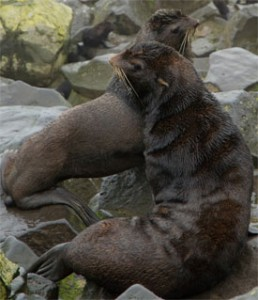 The Esperanza crew had an opportunity for a brief shore leave on St. Paul Island on Friday (August 3) before steaming north to Zhemchug Canyon. On St. Paul, they visited a fur seal rookery. Populations of fur seals are down dramatically. (Photo by David E. Guggenheim)