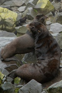 Fur seals on St. Paul Island