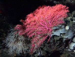 The sublimely pink deepwater coral, Swiftia pacifica
