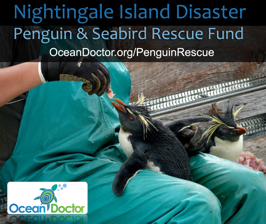 Nightingale-Island-Disaster-Penguin-Seabird-Rescue-Fund3
