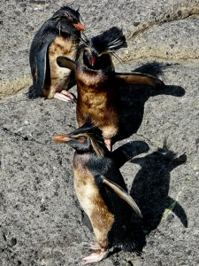 Oiled Northern Rockhopper penguins on Nightingale Island (Photo: Trevor Glass, Tristan da Cunha Conservation Department)
