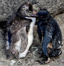 Oiled Rockhopper penguins at Nightingale Island (Photo: Trevor Glass)
