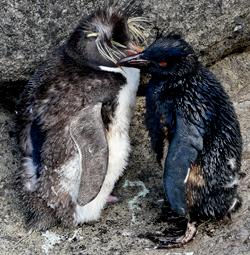 Oiled Rockhopper penguins at Nightingale Island (Photo: Trevor Glass)