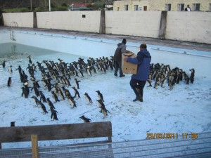 Tristan da Cunha's community swimming pool converted for penguin rehabilitation