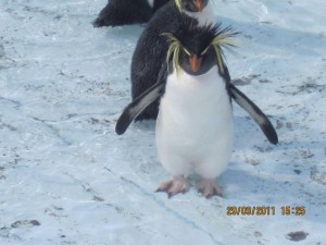 This Northern Rockhopper was covered with oil 6 days prior to this photo and is now rehabilitating at Tristan da Cunha