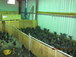 Rehabilitation shed full of Northern Rockhopper Penguins