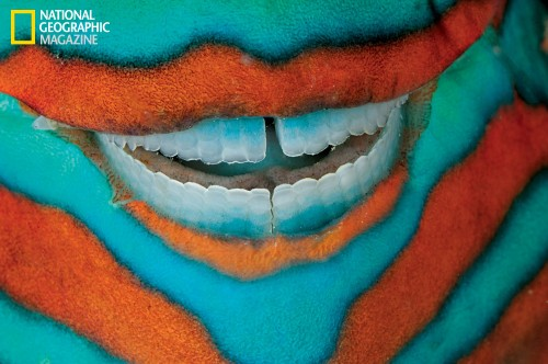The clownish grin of a bridled parrotfish reveals its power tools: grinding teeth used to scrape algae from rock. Though sometimes destructive to individual corals, the fish's efforts are mostly beneficial. Without them, algal growth could smother the reef. Scarus frenatus (Photo: David Doubilet/National Geographic)