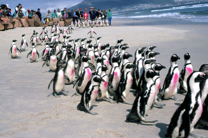 Release of rehabilitated African penguins at Milnerton lighthouse (Photo: Tony Van Dalsen)