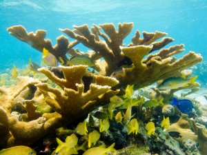 Coral reefs are healthy and abundant in Cuba, like this Elkhorn coral (Acropora palmata) which has declined by 95% in the Caribbean (Photo: David E. Guggenheim)