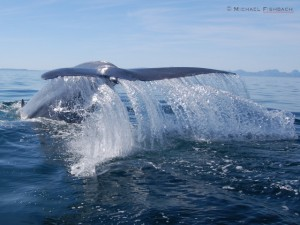 "A ""Blue Whale Waterfall"" Photographed by Michael Fishbach, Co-Founder of The Great Whale Conservancy"