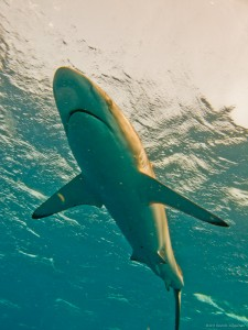 Silky Shark (c) 2011 David E Guggenheim