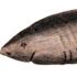 Greenland-shark-Scoresby-1820_THUMB