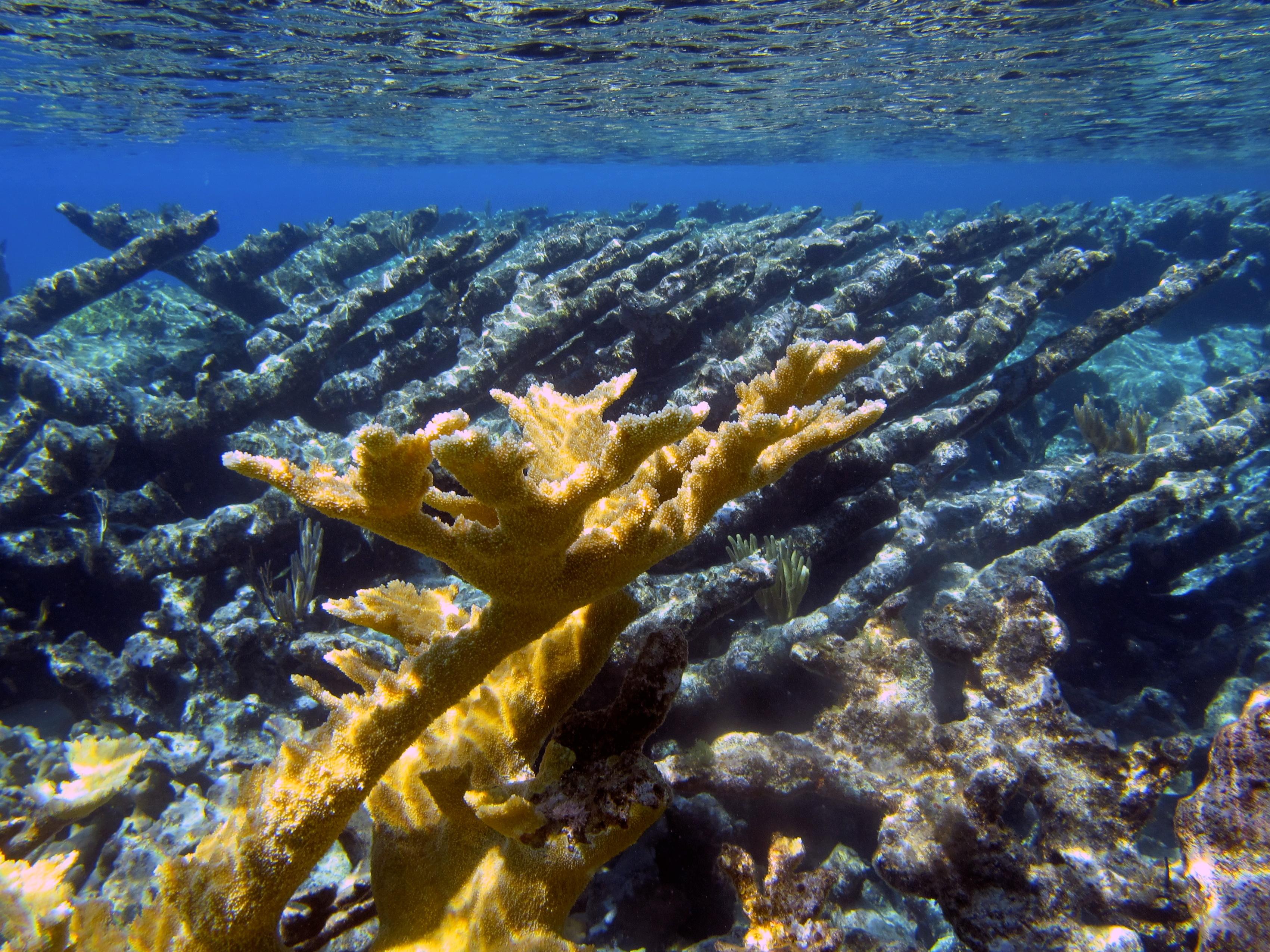 acropora-palmata-elkhorn-coral