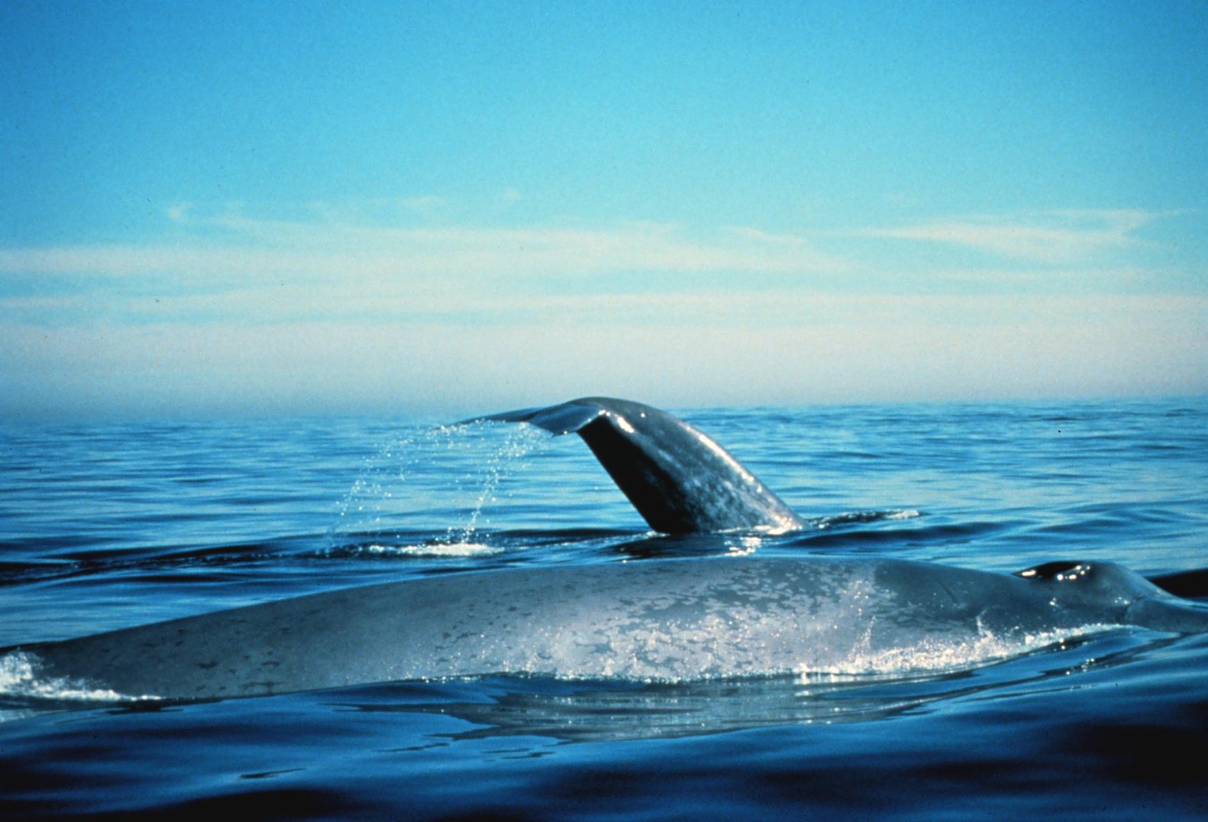 Great Whales Near the Farallones, California Coast (Photo by Dan Shapiro, Courtesy of NOAA)