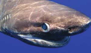 Bluntnose Sixgill Shark Hexanchus griseus ? R. Dean Grubbs