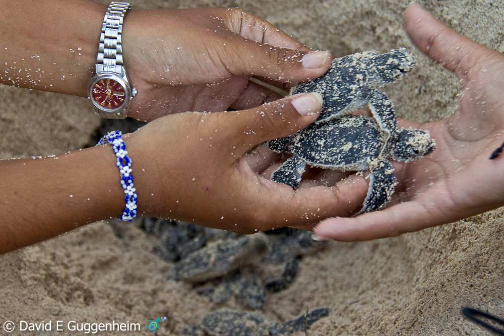 Cuban students work with green sea turtle hatchlings in Guanahacabibes, Cuba