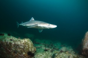 Spiny Dogfish (Squalus acanthus)