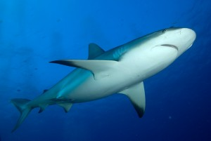Top predators, including sharks – like this Caribbean reef shark – and grouper are abundant in Gardens of the Queen (Photo © Noel López)