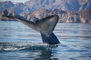 A magnificent Blue Whale fluke (Image courtesy of Michael Fishbach, Great Whale Conservancy)