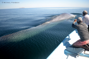 Up close to a magnificent Blue Whale (Image courtesy of Michael Fishbach, Great Whale Conservancy)