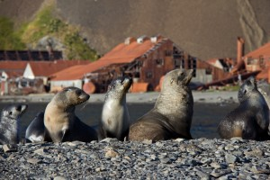 Antarctic fur sea pups play in front of the abandoned Stromness whaling station on South Georgia Island
