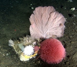 A beautiful cluster of deep-sea coral, byozoans, anenome and other delicate life below 1,000 feet in the Bering Sea's Pribilof Canyon