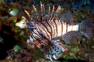 lionfish_hires_crop