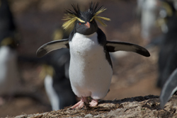 The beloved  Northern Rockhopper penguin has declined 90 percent over the past 50 years and is now an endangered species