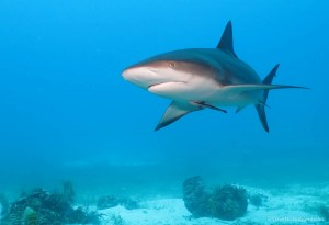 Sharks are abundant and a sign of a healthy ecosystem in Gardens of the Queen (Photo: D. Guggenheim)