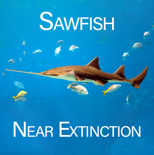 Sawfish Conservation