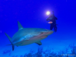 Photographer and Caribbean reef shark in southern Cuba