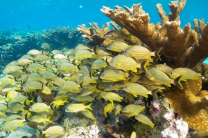 Elkhorn coral packed with grunts and snapper