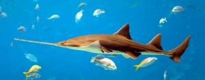 Large Tooth Sawfish