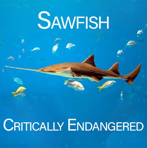 Sawfish Conservation
